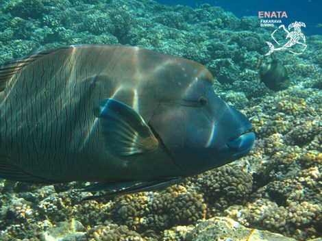 Enata Fakarava Diving - Refresh dives | Refresh Dives | eDivingPass