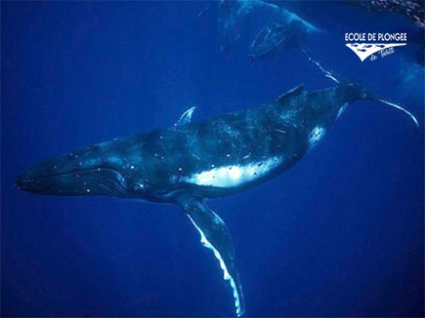 Ecole Plongee Tahiti - Whales Excursions | Dolphin and Whale | eDivingPass