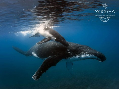 Moorea Underwater Experience - PRIVATE Whales Excursions - 1/2 Day 1-4 persons | Dolphin and Whale on Private | eDivingPass