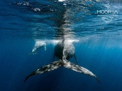 Moorea Underwater Experience - PRIVATE Whales Excursions - 1 Day 1-4 persons | Dolphin and Whale on Private | eDivingPass