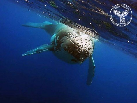 Tubuai Plongée - Whales Excursions | Dolphin and Whale in Excursions | eDivingPass